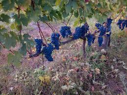Occhipinti Andrea uva